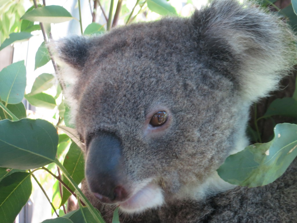koala, Sydney, Australia, zoo, Taronga Zoo, animals