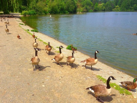 Canadian Geese, walking the seawall in stanley park, vancouver, british columbia,