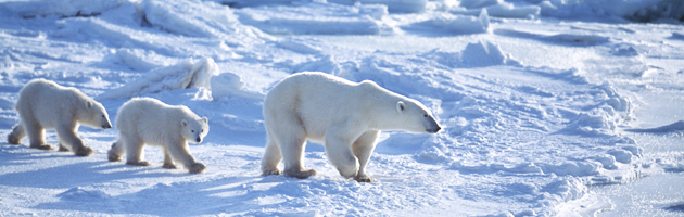 Kensington Tours Explorers in Residence, polar bear, arctic, Lee Abbamonte