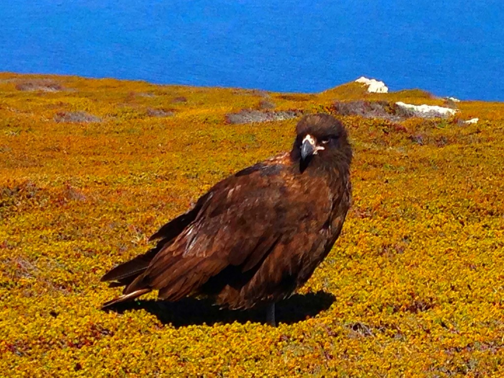 Carcass Island, Falkland Islands, Falklands, beach, gentoo penguins, Carcass Island Farmhouse, Striated caracara