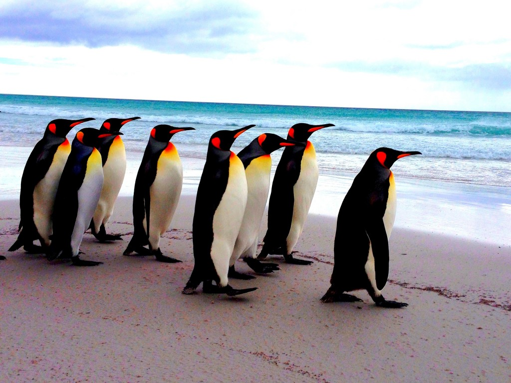 Falkland Islands, Volunteer Point, Falkland Islands Radio, king penguins