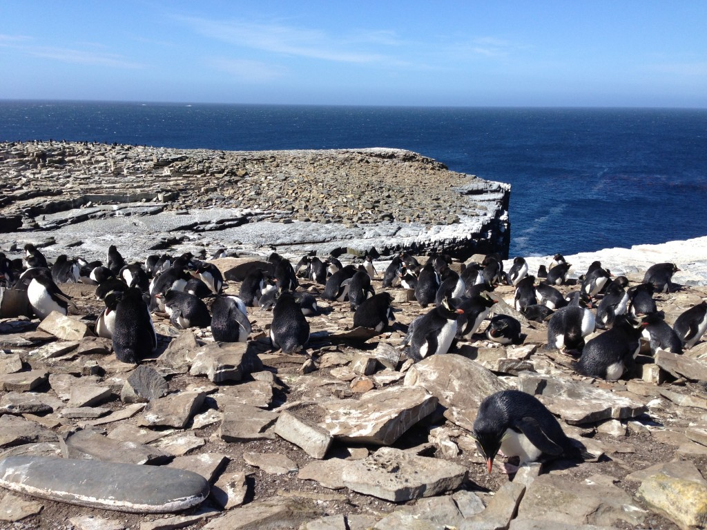 rockhopper penguins, sea lion island, falkland islands