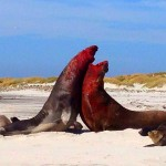 Sea Lion Island, Falkland Islands, elephant seals, fighting