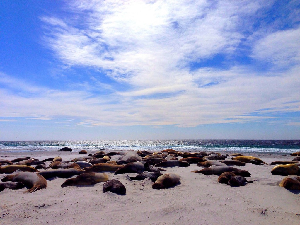 Sea Lion Island, Falkland Islands, elephant seals, beach