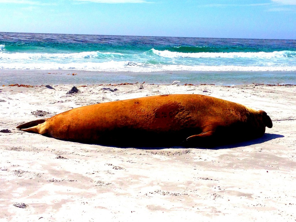 Sea Lion Island, Falkland Islands, elephant seal
