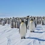 Emperor Penguins Pictures