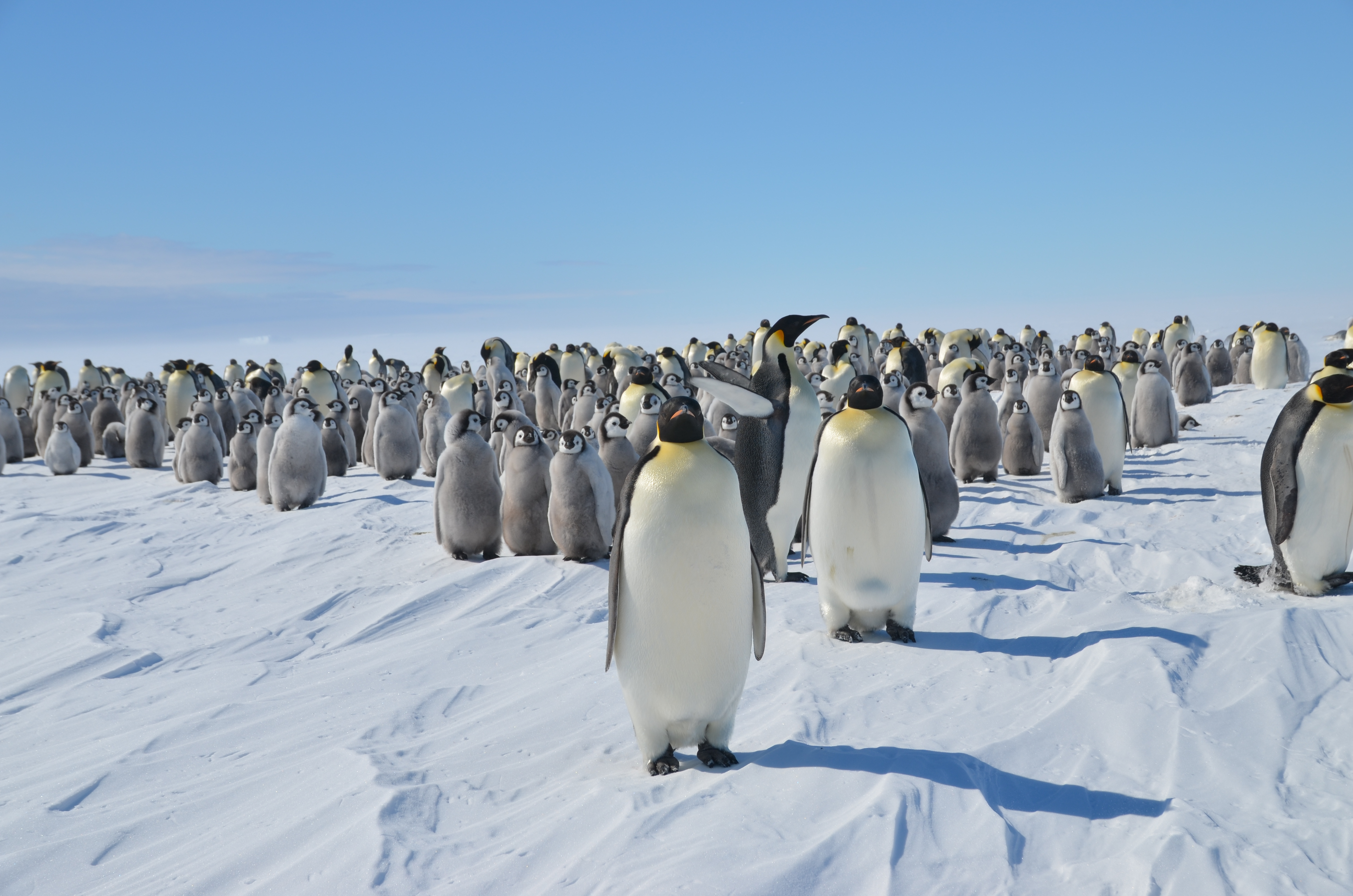 Emperor Penguins Pictures