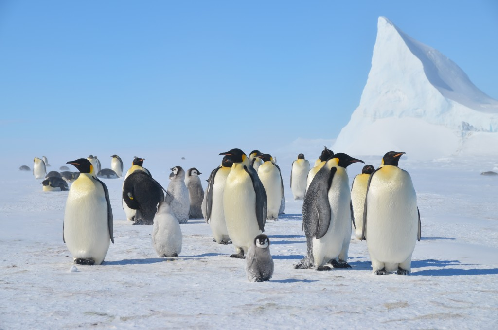 Emperor Penguins, Antarctica, ice