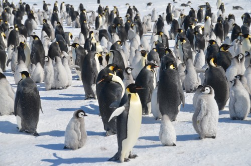 Emperor Penguins, Antarctica, penguin colonies