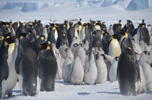 Emperor Penguins huddled, Antarctica