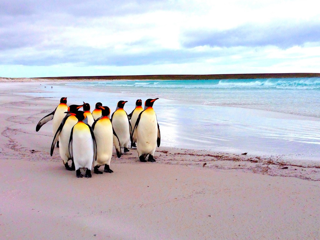 Falkland Islands beach, penguins, king penguins