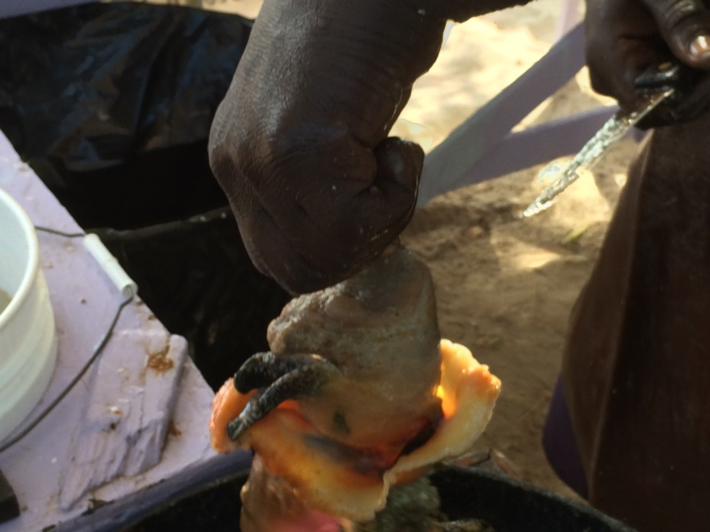 Conch getting cleaned, Grand Bahama Island