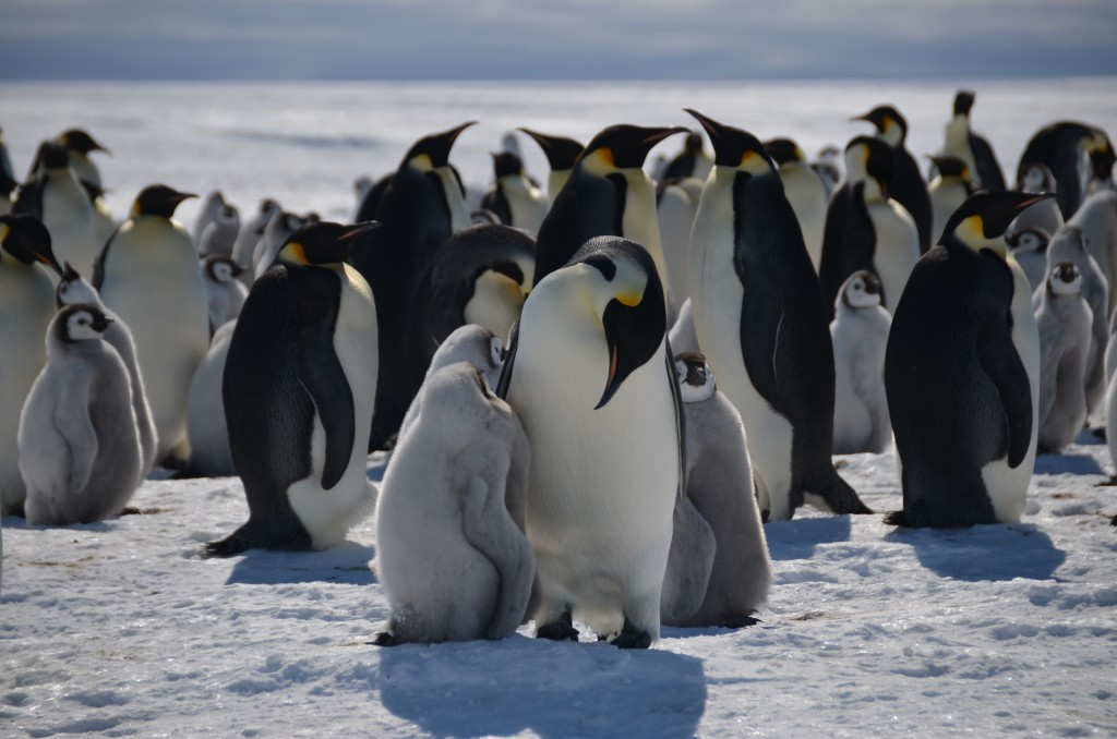 Emperor Penguins, penguins, Antarctica, chicks