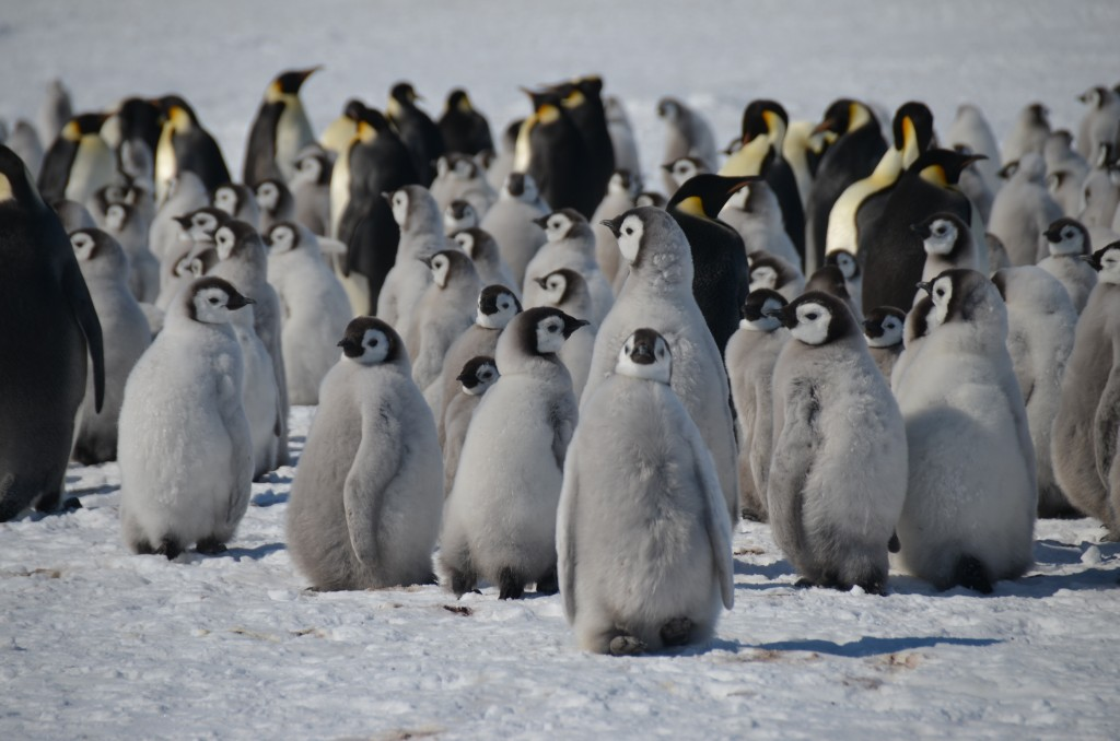 Emperor Penguins, penguins, Antarctica
