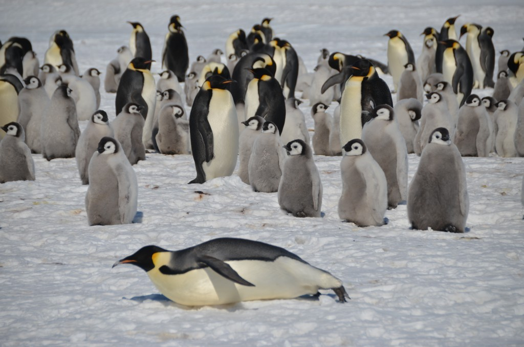 Emperor Penguins, Penguins, Antarctica, Atka Bay, White Desert
