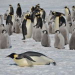 Emperor Penguins Video