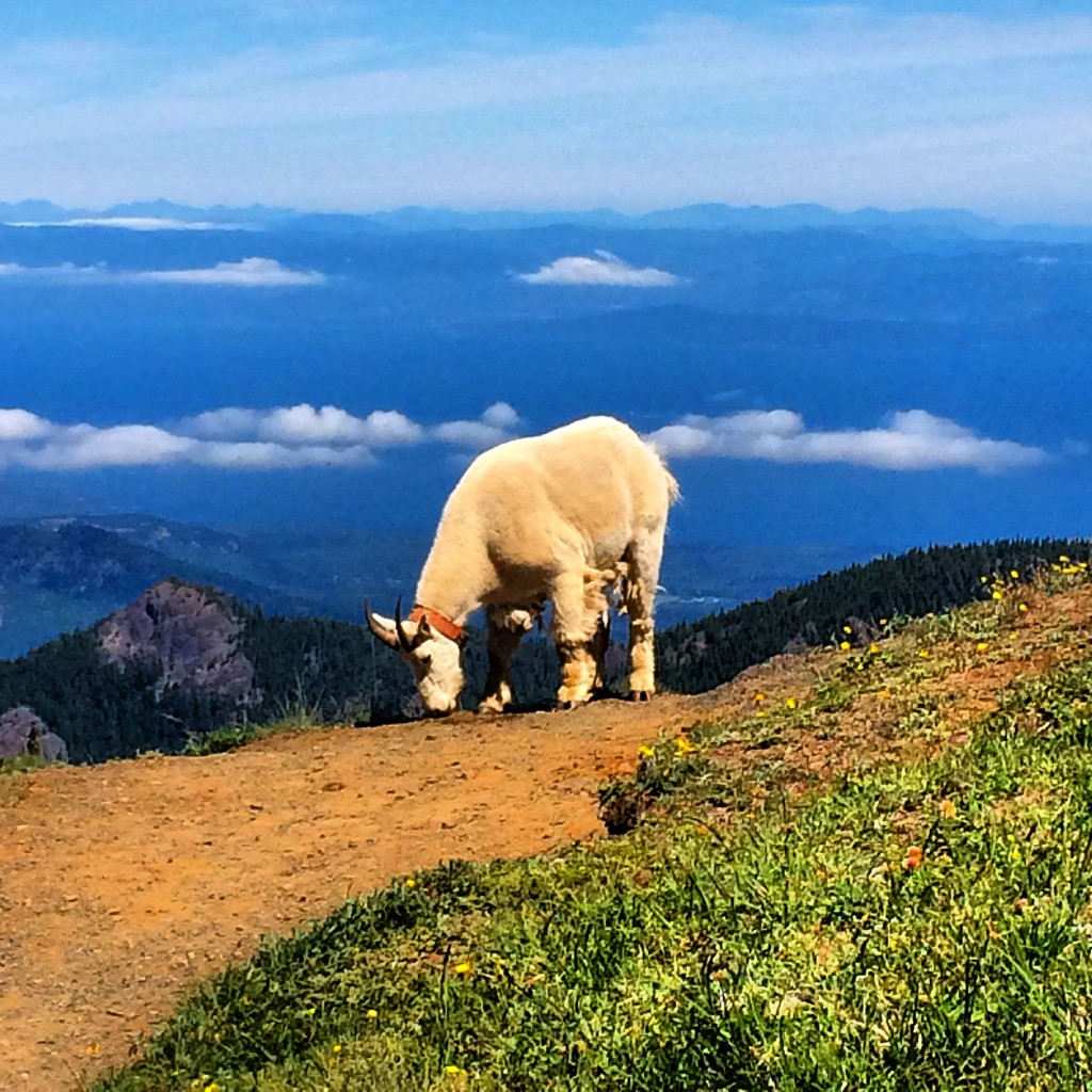 Olympic National Park, mountain goat