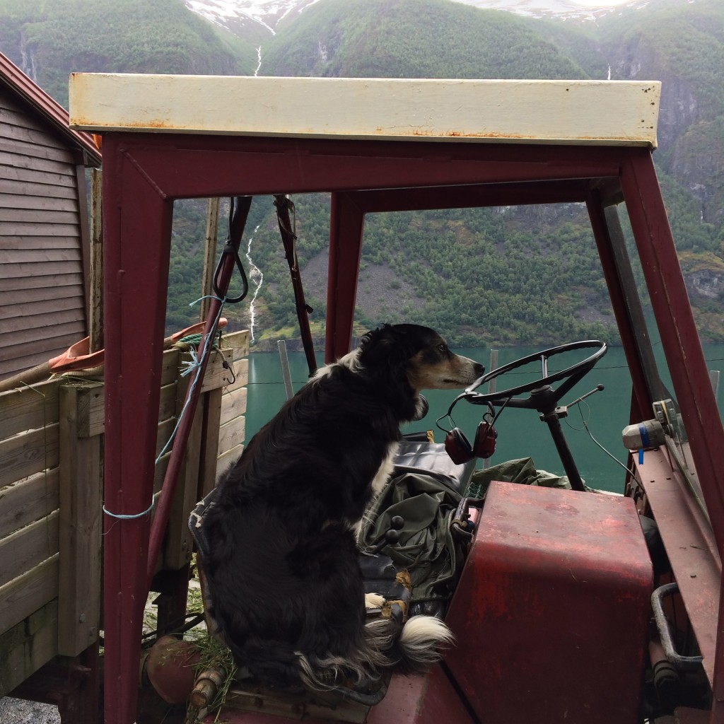 Dog, Li Farm, Flam, Norway