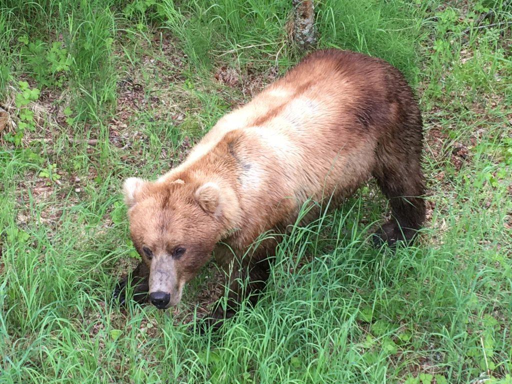 2.5 days in Katmai National Park, Katmai Naional Park, Alaska, National Park, brown bear