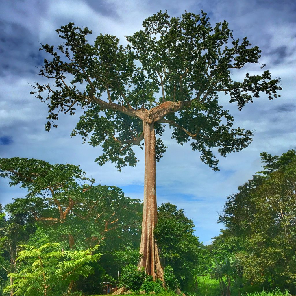 Equatorial Guinea is the Weirdest Country in the World, Equatorial Guinea, Malabo, Ceiba Tree