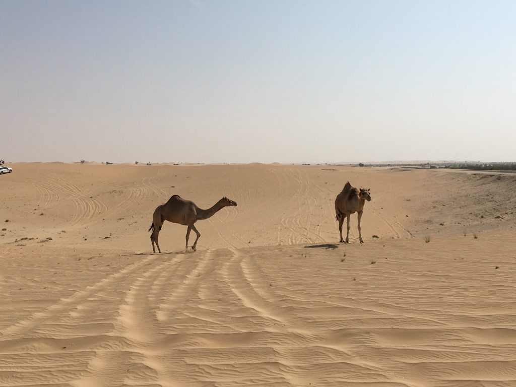 two things you must do in Abu Dhabi, Abu Dhabi, Emirates, United Arab Emirates, desert safari, 4x4, desert, safari, camels