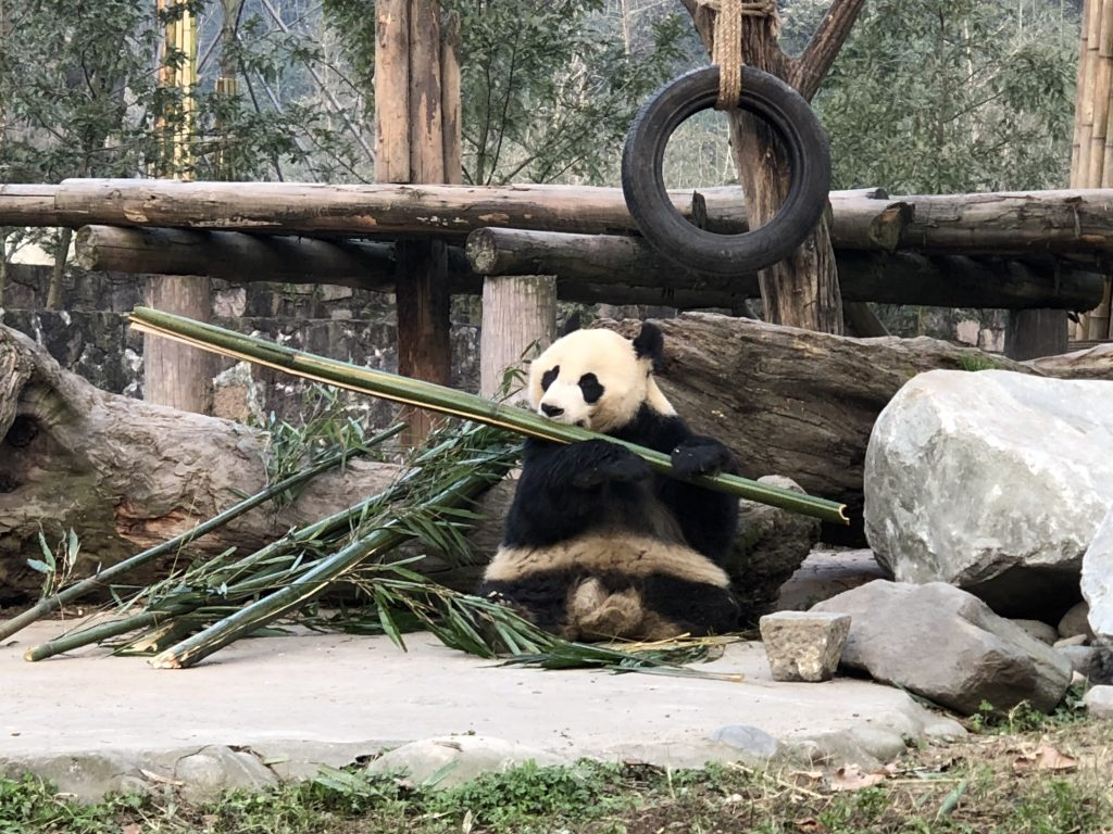 Chowing down on some bamboo