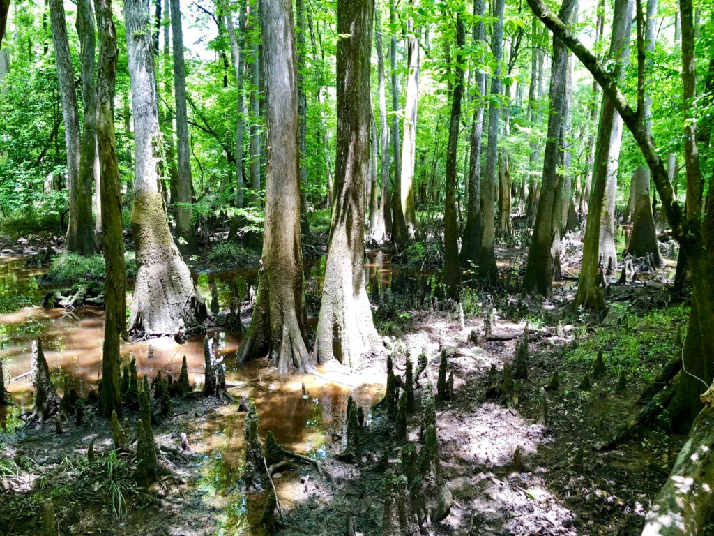 Interesting swamp scenery within Congaree National Park