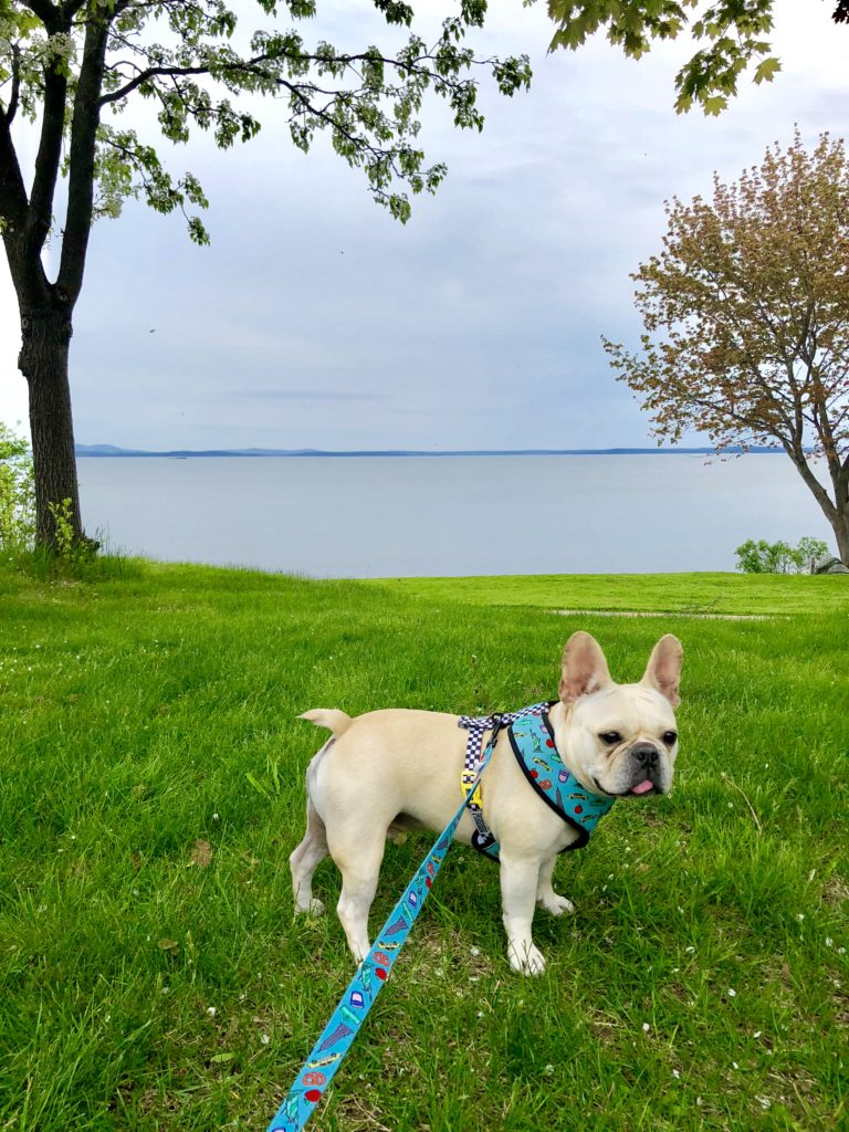 Hector enjoying the grass and space at the hotel in Bar Harbor