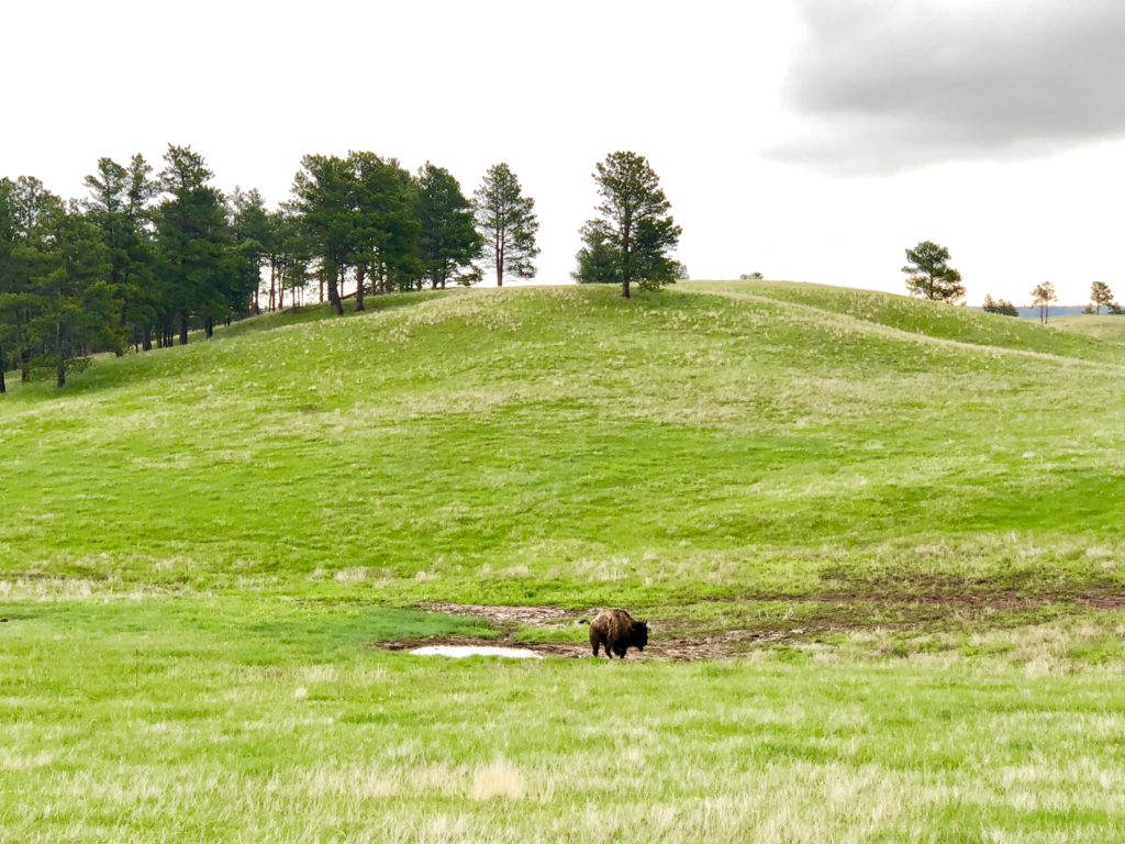 A single buffalo roaming around Wind Cave National Park in the rain