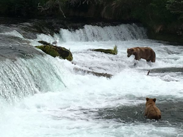 Bears at Brooks Falls in Katmai National Park looking for salmon