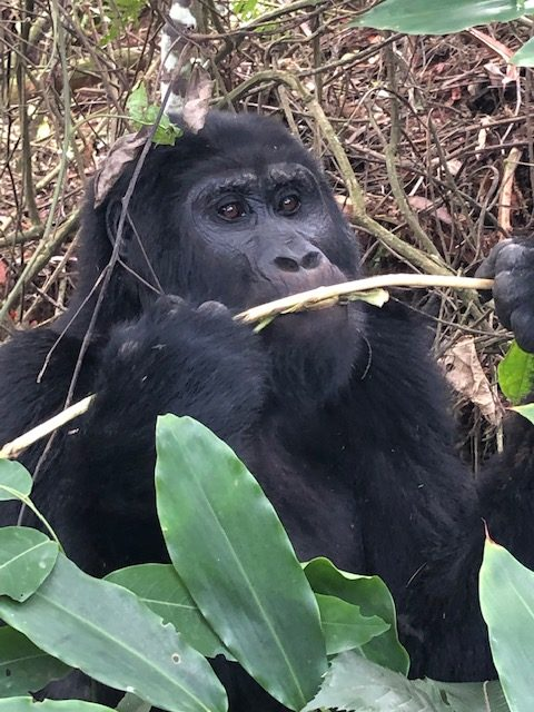 How to See the Gorillas in Uganda